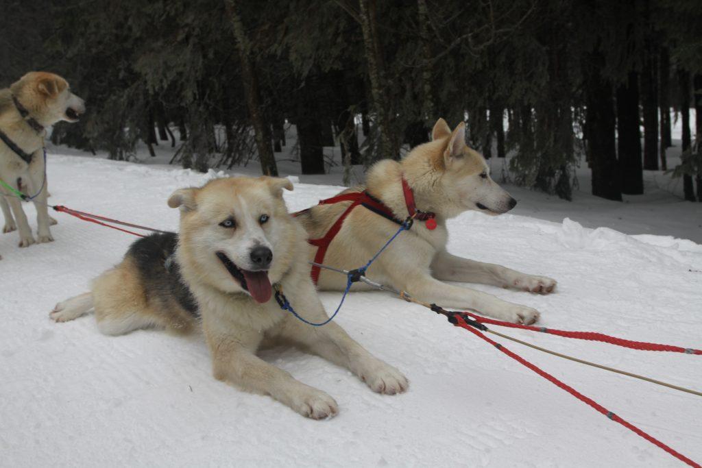 Promenade en chiens de traineaux dans les Vosges