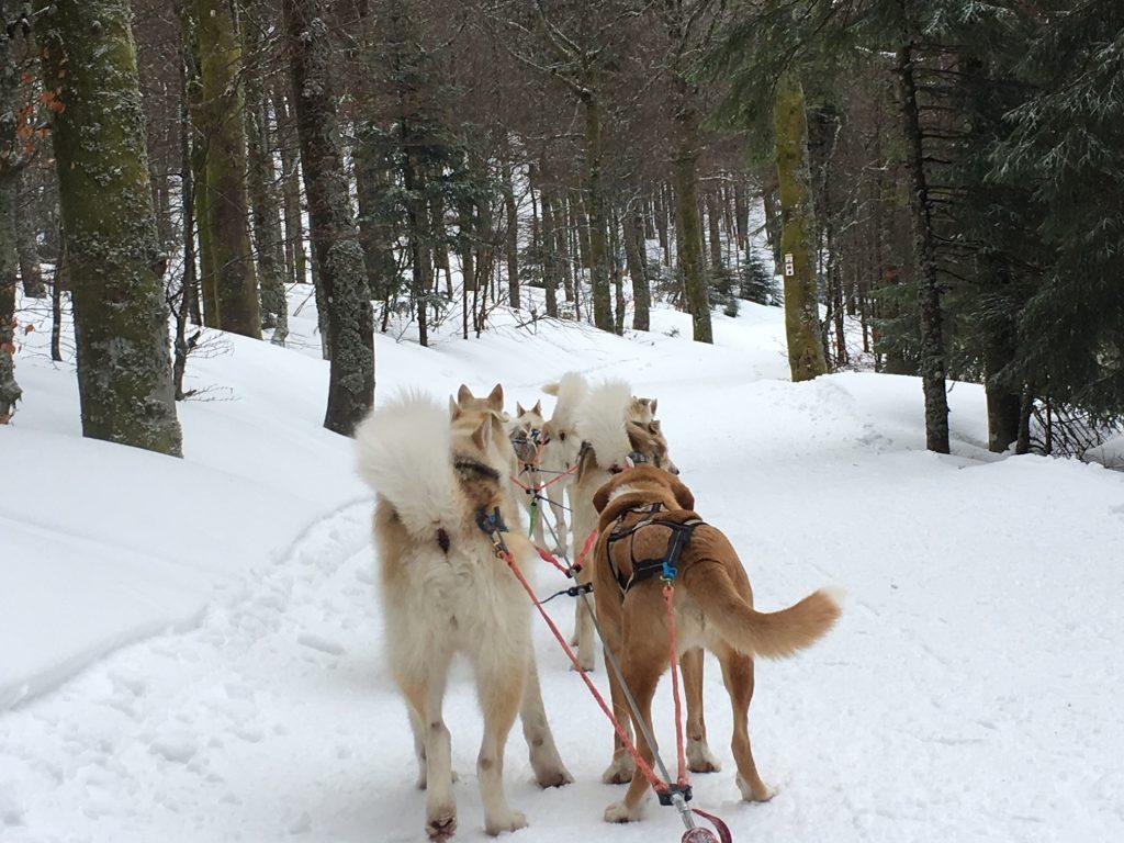 Promenade chiens de traineaux